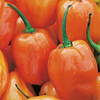 Frö till Havannapeppar, Capsicum chinense 'Habanero Orange'
