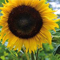 Frö till Jättesolros, Helianthus annuus 'Yellow Giant'