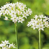 Kinesisk gräslök, Allium tuberosum