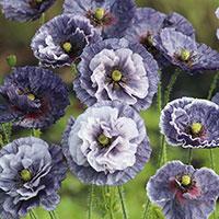Frö till kornvallmo, Papaver rhoeas 'Amazing Grey', 'Amazing Blue'