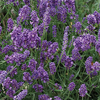 Frö till lavendel, Lavandula angustifolia 'Mini Blue'