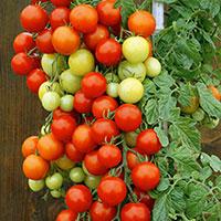 Körsbärstomat, Solanum lycopersicum var. cerasiforme 'Bajaja'