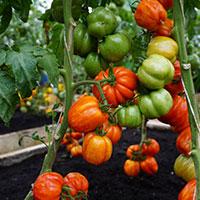 BIfftomat, Solanum lycopersicum 'Striped Stuffer'