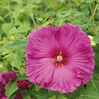 Frö till prakthibiskus 'Luna Rose', Hibiscus moscheutos