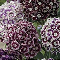 Borstnejlika 'Purple Crown'