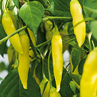 Frö till Bärpeppar 'Havana Gold', Capsicum baccatum