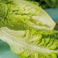 Frö till Bindsallat 'Thimble', Lactuca sativa