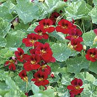 Frö till Indiankrasse 'Red Troika', Tropaeolum majus