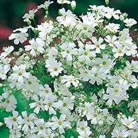 Frö till Sommarslöja 'Monarch White', Gypsophila elegans
