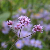 Jätteverbena, Verbena bonariensis