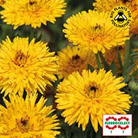 Ringblomma 'Calexis Yellow'