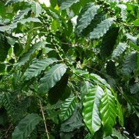 Kaffeplanta med bär