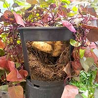 Odling av potatis i hink