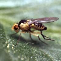 Nemasys biologisk bekämpning mot sorgmyggor och harkrank