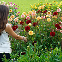 Dahlia 'Jill' mix i trädgård