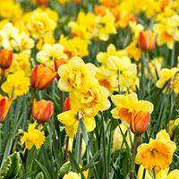 Spring garden mix, narciss 'Tahiti' och tulpaner