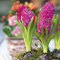 Hyacint 'Jan Bos' i grupp