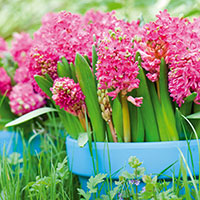Hyacint 'Jan Bos'