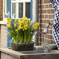 Narcissus 'Tête-à-Tête' och pärlhyacint