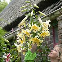 Orientkejsarlilja (trädlilja) 'Honeymoon' i trädgård