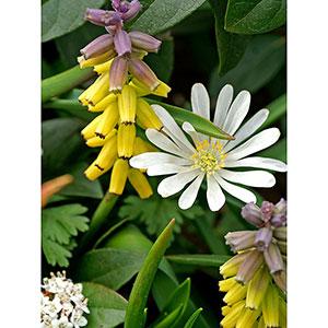 Pärlhyacint Muscari 'Golden Fragrance'