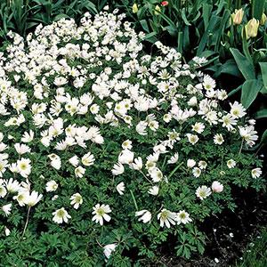 Vit balkansippa i plantering