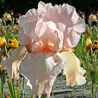 Trädgårdsiris 'Pink'