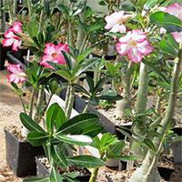 Frösådda plantor av ökenros