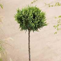 Ädelcypress 'White Spot'