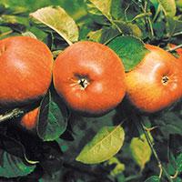Äpple av sorten 'Cox Pomona'