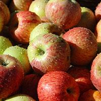 Äpple av sorten 'Gravensteiner'