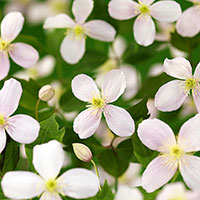 Klematis 'Fragrant Spring'