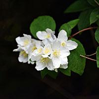 Blomma på doftschersmin