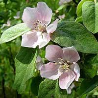 Blommor på kvitten, Cydonia oblonga