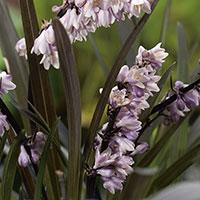 Blommor på Ophiopogon 'Niger'
