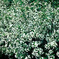 Bukettapel 'Sargentii' med rosa blommor