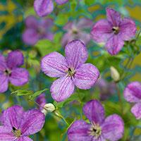 Klematis 'SoMany® Lavender Flowers'