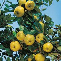 Frukter på kvitten