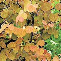 Höstfärger på bladen hos Katsura