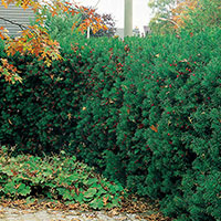 Hybrididegran 'Hillii' i häckplantering