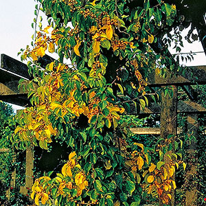 Japansk träddödare Celastrus orbiculatus