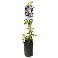 Klätterväxt Clematis 'Fragrant Spring'