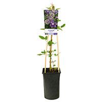 Klätterväxt Clematis florida 'Taiga'