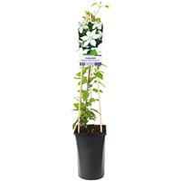 Klätterväxt Clematis 'SoMany White Flowers'