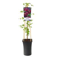 Klätterväxt Clematis purpurea plena 'Elegans'