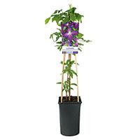 Klätterväxt Clematis 'Jackmanii Purpurea'