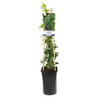Klätterväxt, murgröna Hedera helix 'Natasja'