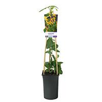 Klätterväxt Lonicera 'Mandarin'