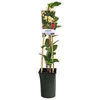 Klätterväxt Lonicera periclymenum 'Belgica Select'