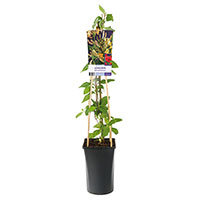 Klätterväxt Lonicera periclymenum